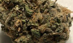 Teapad Strawberry Fields marijuana weed DC