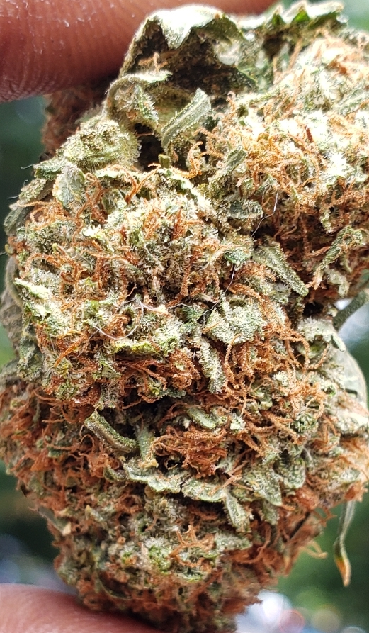 bubba kush dc select co op weed photography