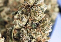 Exotic Blooms DC Durban Poison weed photo