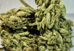 Select Co Op DC Gorilla Diesel weed photo