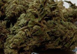 select co op dc blue city diesel weed photo