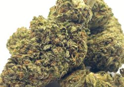 select co op dc willys dream weed photo