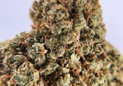 jack herer district connect DC weed photo