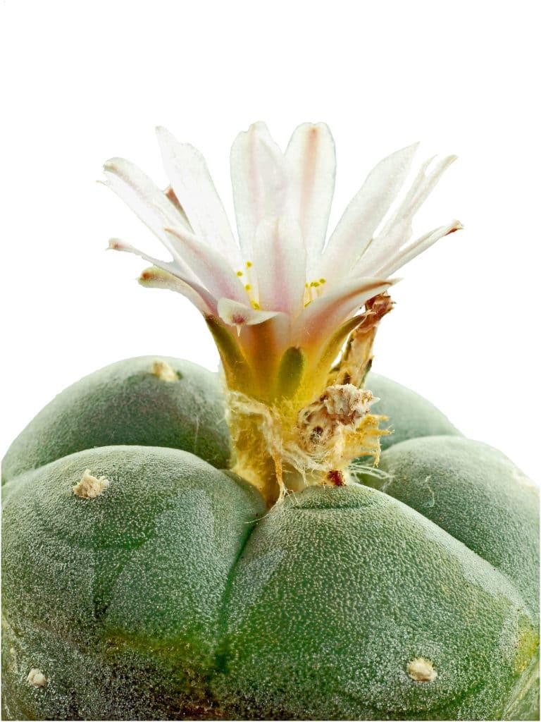 peyote cactus photo