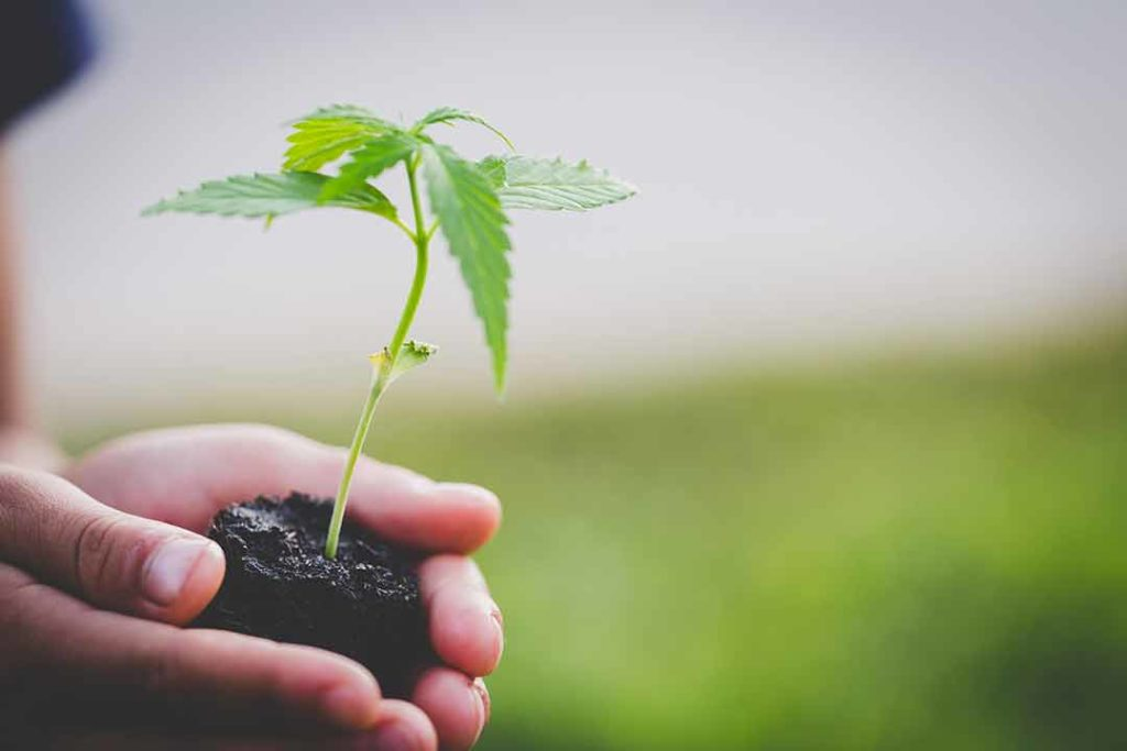 cannabis plant sprout stock photo