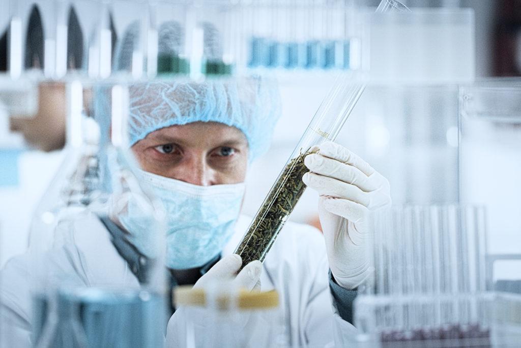 scientist testing marijuana stock photo