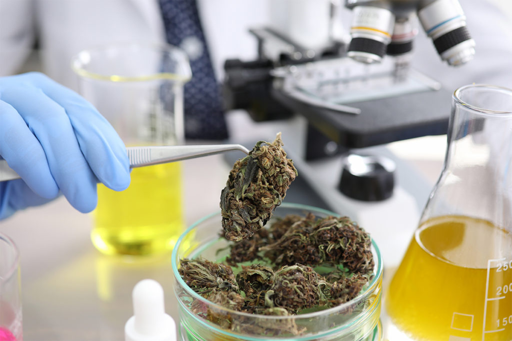 scientist testing marijuana bud stock photo