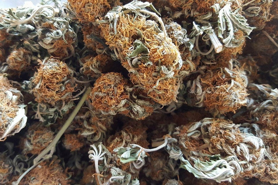 bad pgr cannabis weed buds