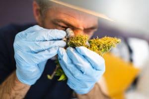 man inspecting cannabis loupe